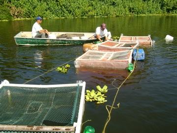 Colocaci n de jaulas para el cultivo de tilapia foto for Construccion de jaulas flotantes para tilapia